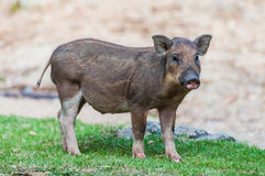 Baby wild boar. Stand over grass Royalty Free Stock Photography