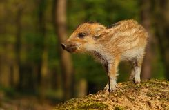 Baby wild boar Royalty Free Stock Photo