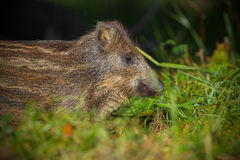 Baby wild boar in summer grass. Discovering his surroundings Royalty Free Stock Images