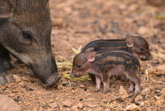 Baby wild boar Royalty Free Stock Image