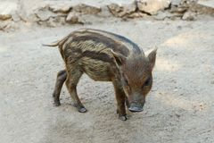 Baby Wild Boar Walking On The Ground royalty free stock photo