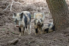 Baby wild boars in the forest Stock Photos