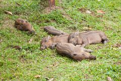 Baby wild boars sleeping on grass Stock Photo