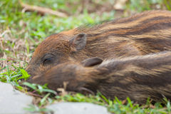 Baby wild boars sleeping on grass Royalty Free Stock Image