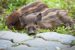 Baby wild boars sleeping on grass Royalty Free Stock Images