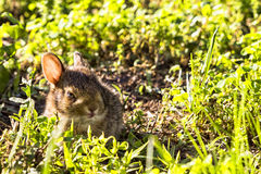 Baby Wild brown rabbit hiding in the  tall green grass. Baby Wild brown rabbit hides in the tall grass Royalty Free Stock Photo