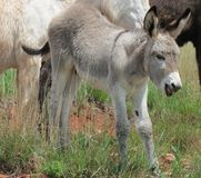 Baby wild burro Stock Photos