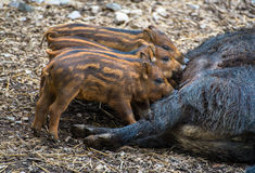 Baby wild hogs. Four baby boars drinking milk. Picture was taken in Ljubljana zoo - Slovenia Stock Photography