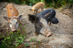 Baby wild pigs. In Corsica Royalty Free Stock Photo