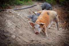 Baby wild pigs. Feral piglets in Corsican mountains Stock Photography