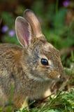 Baby wild Rabbit Stock Photography