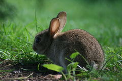 Baby wild rabbit Stock Image