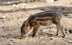 Baby wildboar Royalty Free Stock Photo