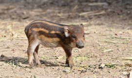 Baby wildboar Royalty Free Stock Photos