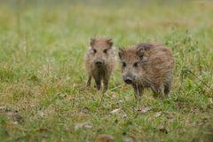 Baby wildboar Royalty Free Stock Photography