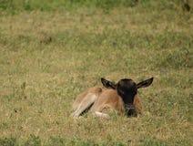 Baby Wildebeest 1 Stock Foto