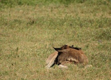 Baby Wildebeest 2 royalty free stock photography