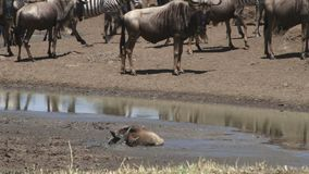 A baby wildebeest stuck in mud. After walking too far into the muddy dam stock video footage