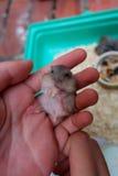 Baby winter white hamster Stock Photos