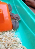 Baby winter white hamsters Stock Image