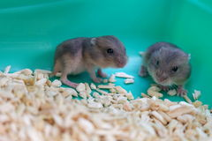 Baby winter white hamsters Stock Photography