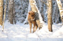 Baby Wisent in winter birch forest Royalty Free Stock Images
