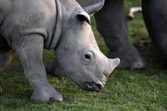 Baby wit rinoceros/rinoceroskalf Stock Foto