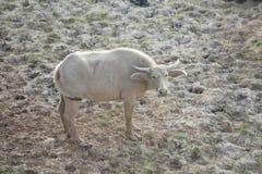Baby witte buffels Royalty-vrije Stock Afbeeldingen