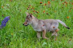 Baby wolf cub in field of wildflowers. Little baby wolf cub in field of wildflowers stock photos