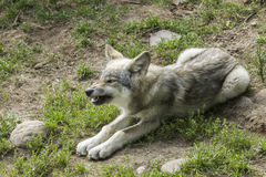 Baby wolf Stock Image