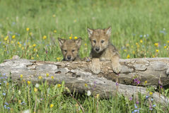 Baby wolves. Baby gray wolves, photographed near their den in Montana royalty free stock images