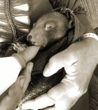 Baby Wombat being Fed. A five month old baby wombat being bottle fed by her foster mum stock images