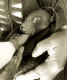 Baby Wombat being Fed. A five month old baby wombat being bottle fed by her foster mum stock photography