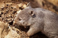 Baby Wombat Royalty Free Stock Photos