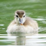 Baby Wood Duckling Swimming in a Pond. A very cute and fluffy baby wood duck swimming in a green pond royalty free stock image