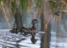 Baby wood Ducks Stock Photography