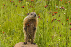 Baby Woodchuck Standing. Young woodchuck standing on a rock in a field of wildflowers stock photo