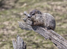 Baby woodchuck Royalty Free Stock Photo