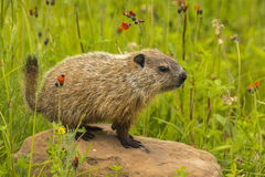 Baby Woodchuck. A young woodchuck surrounded by wildflowers royalty free stock photography