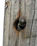 Baby Woodpecker. A red-shafted northern flicker woodpecker baby in Montana Royalty Free Stock Photo