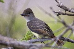 Brown Crested or Dusky Capped Flycatcher Fledgling Puffing the Feathers on its Head Stock Images