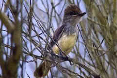 Brown Crested or Dusky Capped Flycatcher Fledgling Puffing the Feathers on its Head Stock Image