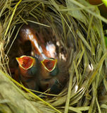 Baby wrens in the nest. Royalty Free Stock Photography