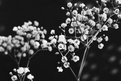 Baby's breath in black and white