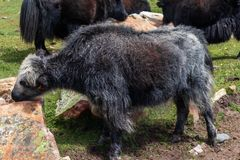 Baby Yak Cub close up stock images