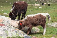 Baby Yak grassing close up royalty free stock photos