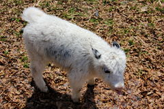 baby Yak Royalty Free Stock Images