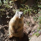 Baby Yellow Belly Marmot Royalty Free Stock Photo