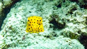 Baby yellow boxfish Ostracion cubicus in the Maldives. royalty free stock images