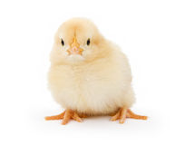 A baby yellow chicken isolated on white royalty free stock photo